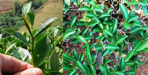 Ruan Zhi Oolong Nr.17 Tee in Nordthailand: Büsche und Spross