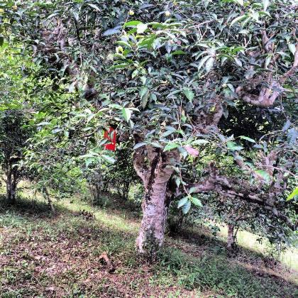 Nordthailands alte Teebäume