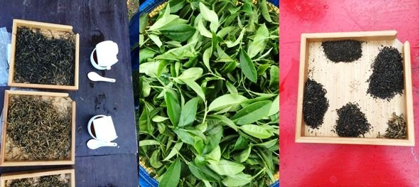 Alles dreht sich um Tee: frisch gepflückte Teeblätter / fertig verarbeitete Tees