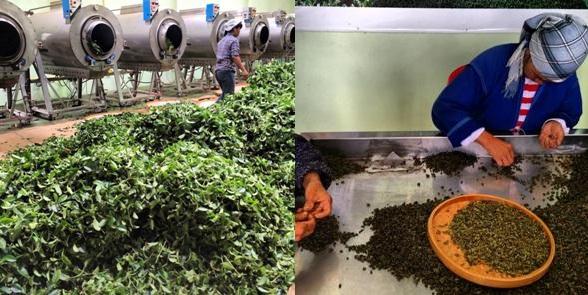 Teeverarbeitung - ein Besuch in der Teefabrik