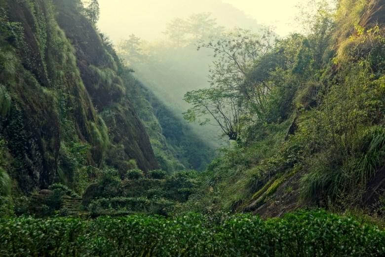 Rock Oolong Tee Büsche in Wuyi Shan, Fujian, China