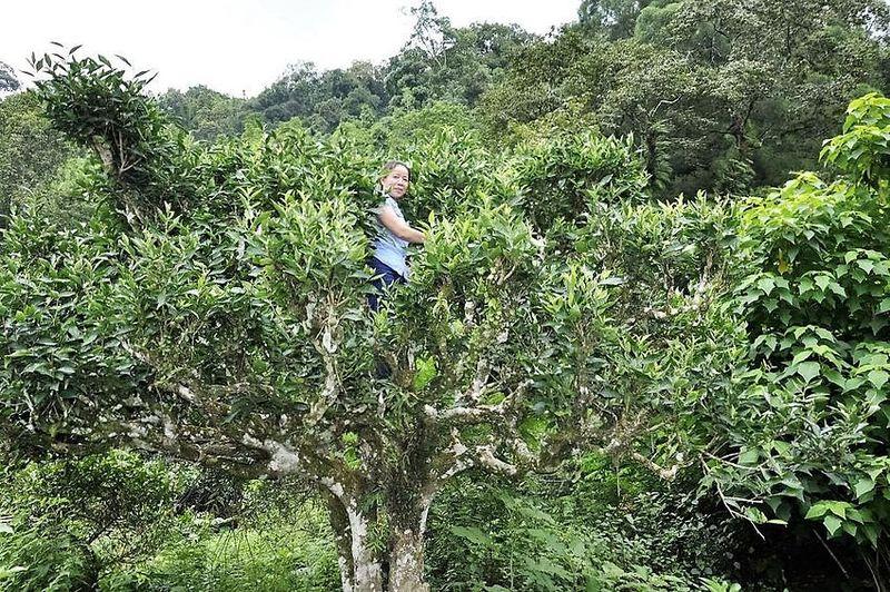 """Das Pflücken der Teeblätter von den bis 15 m hohen """"Snow Shan"""" Teebäumen ist harte Arbeit"""