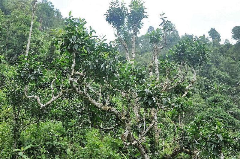 Wilde alte Teebäume in der Provinz Ha Giang, Vietnam