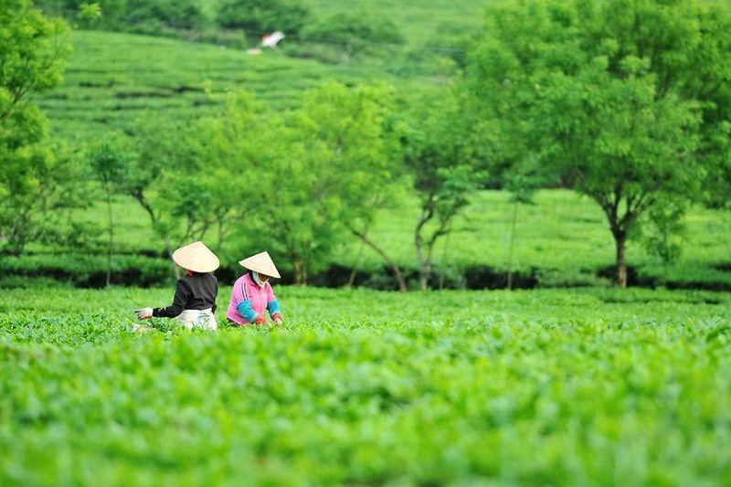 Tee aus Vietnam - Die Einführung konventioneller Praktiken des Teeanbaus in ordentlichen Reihen und Teegärten geht auf die Besetzung Vietnams durch die französische Kolonialmacht zurück