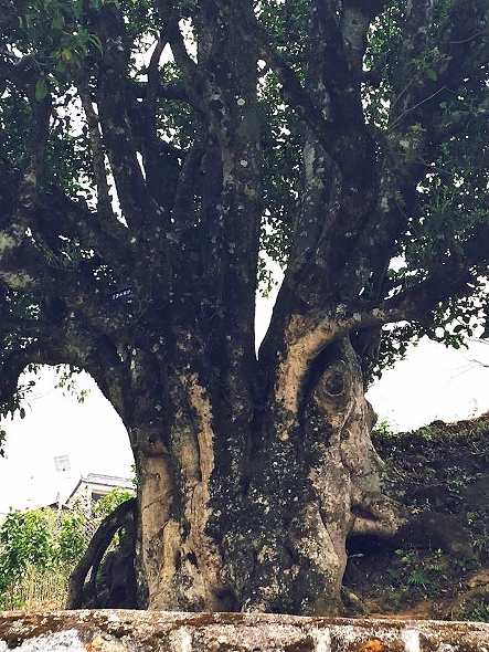 3200 Jahre alter Teebaum in Fengqing, Pu Erh , Yunnan, China