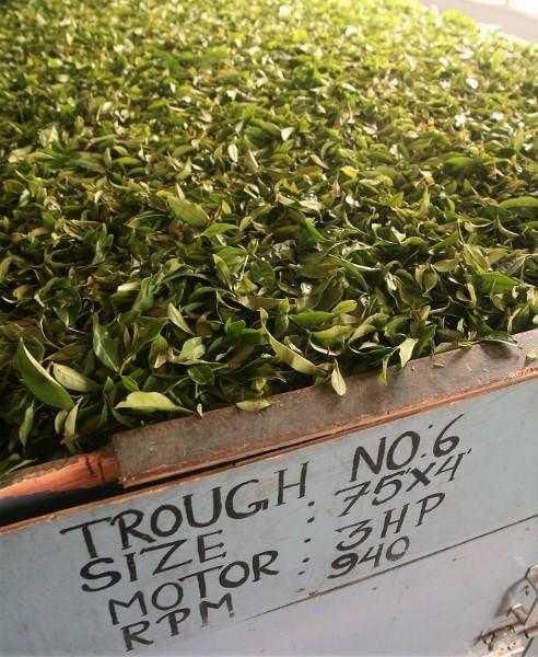 Frisch gepflückte Teeblätter einer Assam/China-hybrid-Teepflanze in Darjeeling