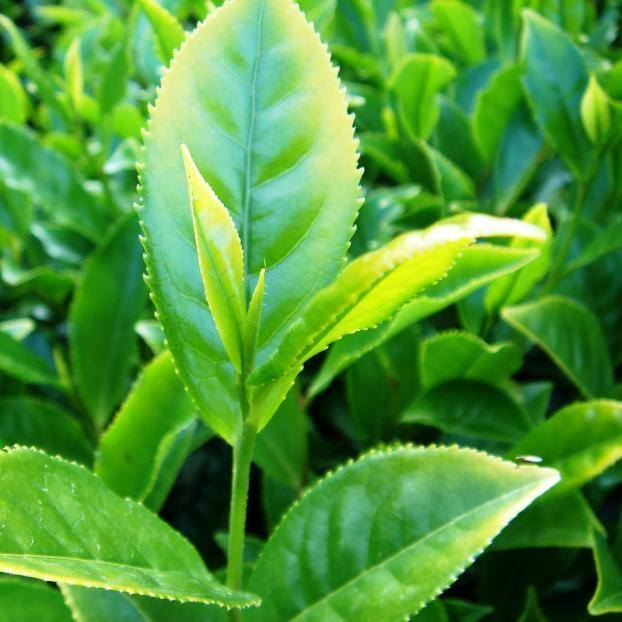 Jabukita Teevarietät - Basis für fast 80% des grünen Tees in Japan
