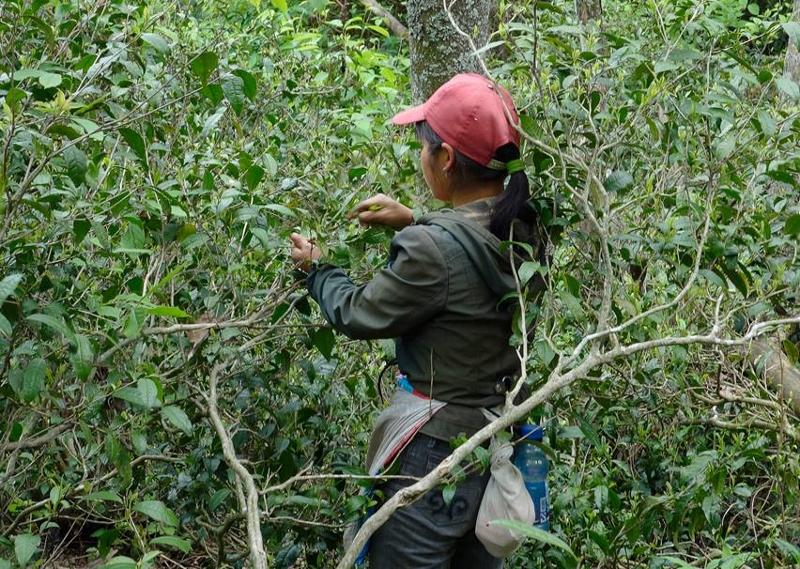 Pflücken von wilden Keemun / Mao Feng Teebüschen, Huang Shan, Anhui, China