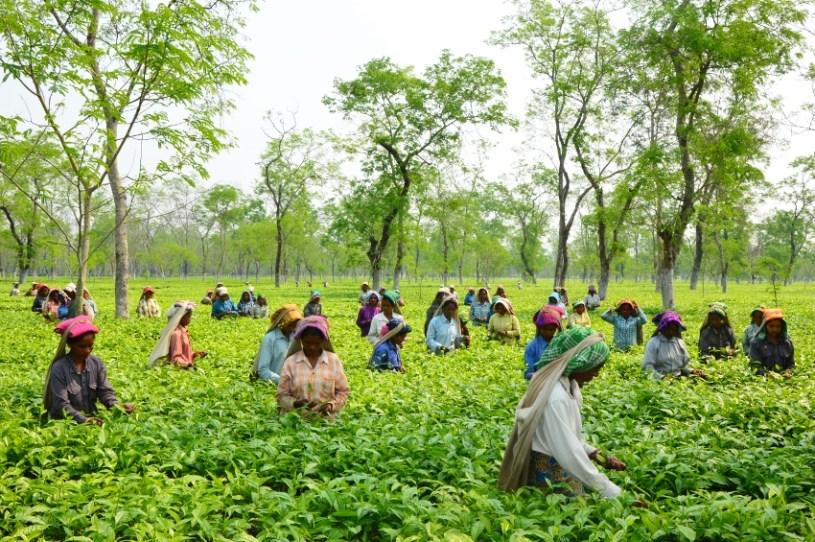 Kosten auf Teegartenebene: Land, Arbeit, Know-how, Saatgut, Pflege, Düngemittel, usw.