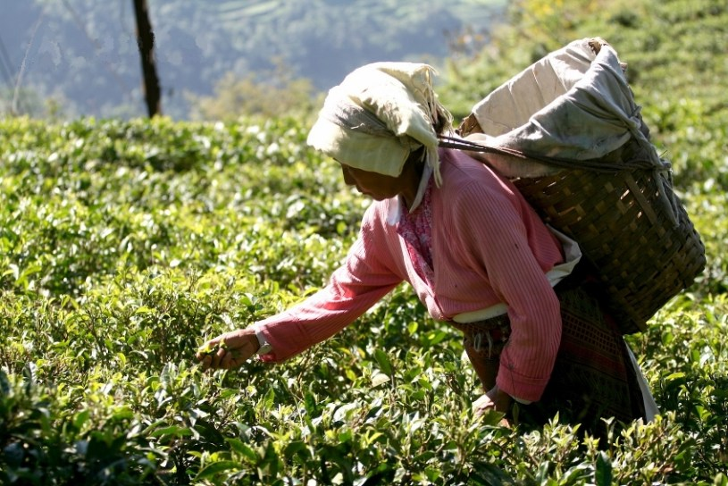 Tee aus Darjeeling - Teepflückerin in Indien