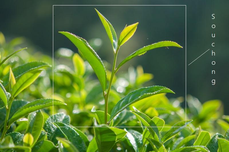 "Teepflückung - Pflückstandards verbildlicht : ""Souchong"" - oberste 5-8 Blätter am Ast"