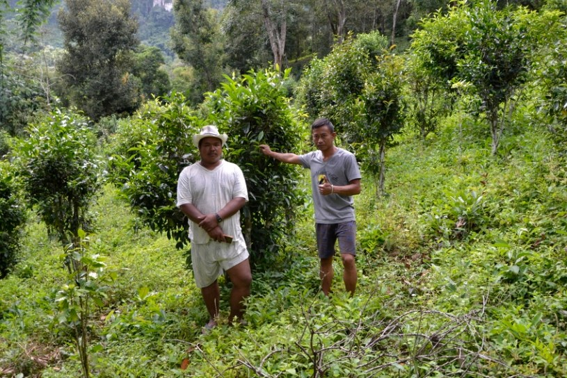 Pang Kham Shan tea farmers in front of their tea trees