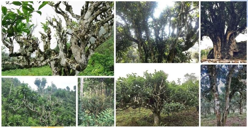 Alte Teebäume in Yunnan, Nordvietnam, Laos und Nordthailand
