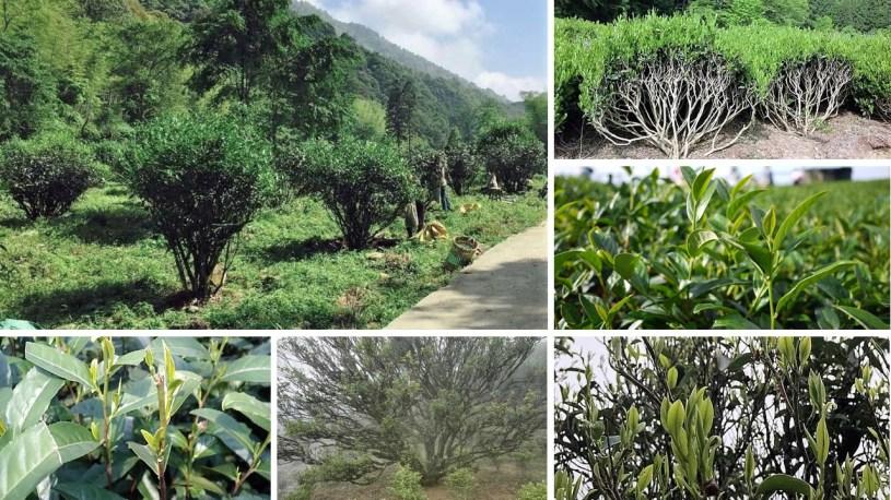Kleinblättrige Teebusch-Kultivare und Halbbaumbusch-Varietäten