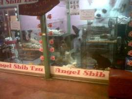 Angel Shih Tzu -Pet shop in Kad Suan Kaew mall Chiang mai