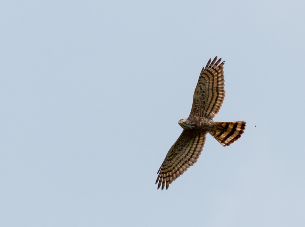 small sparrowhawk from thailand