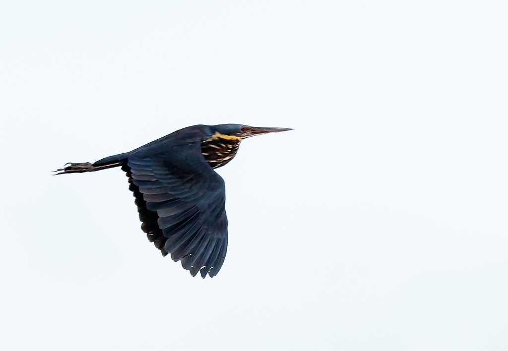 Black Bittern a summer migrant to Northern Thailand