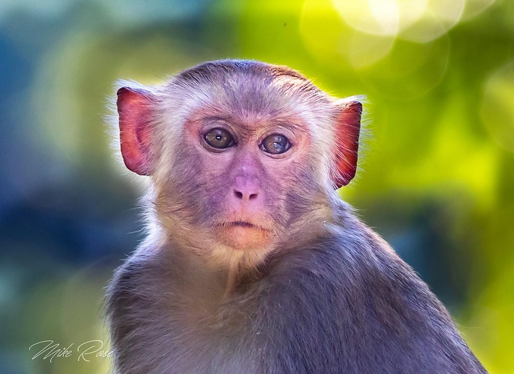 A medium sized primate found in thailand
