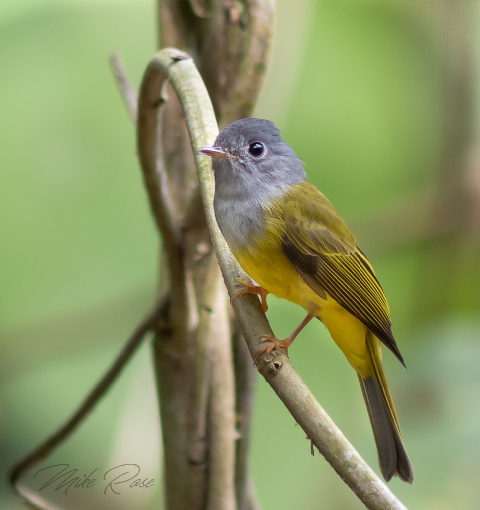small grey and yellow flycatcher found in Thailand