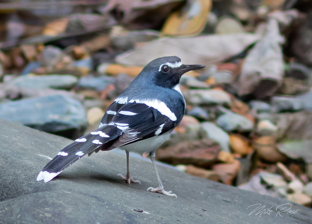 a black and white bird from thailand