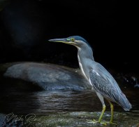 a small member of the heron famaily found in thailand