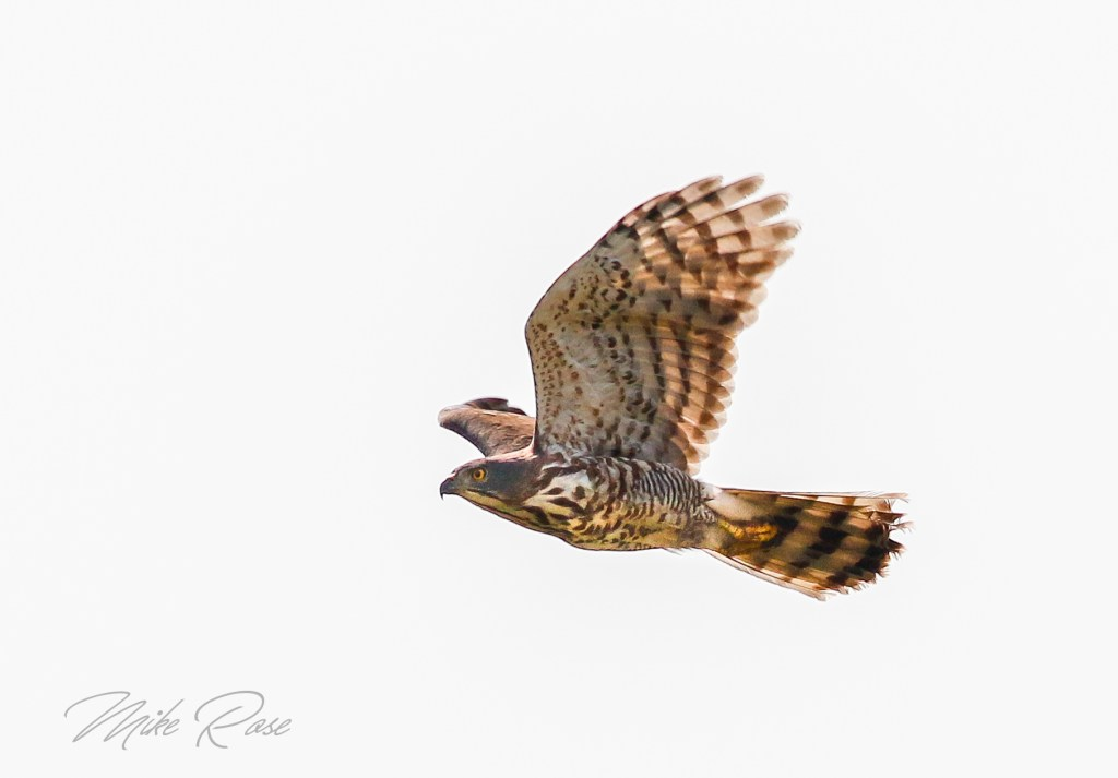 An Accipiter species the Crested Goshawk is resident in Thailand