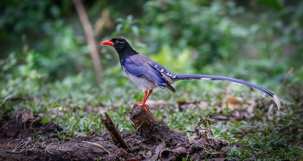 A colourful red billed blue Magpie found in thailand