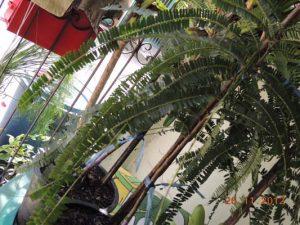 ใบมะขามป้อมยักษ์จะมีก้านใบที่ยาวมาก