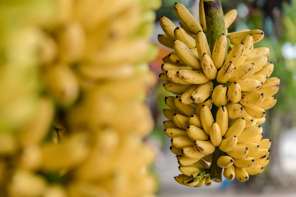 กล้วยไข่ (Kluay Khai)