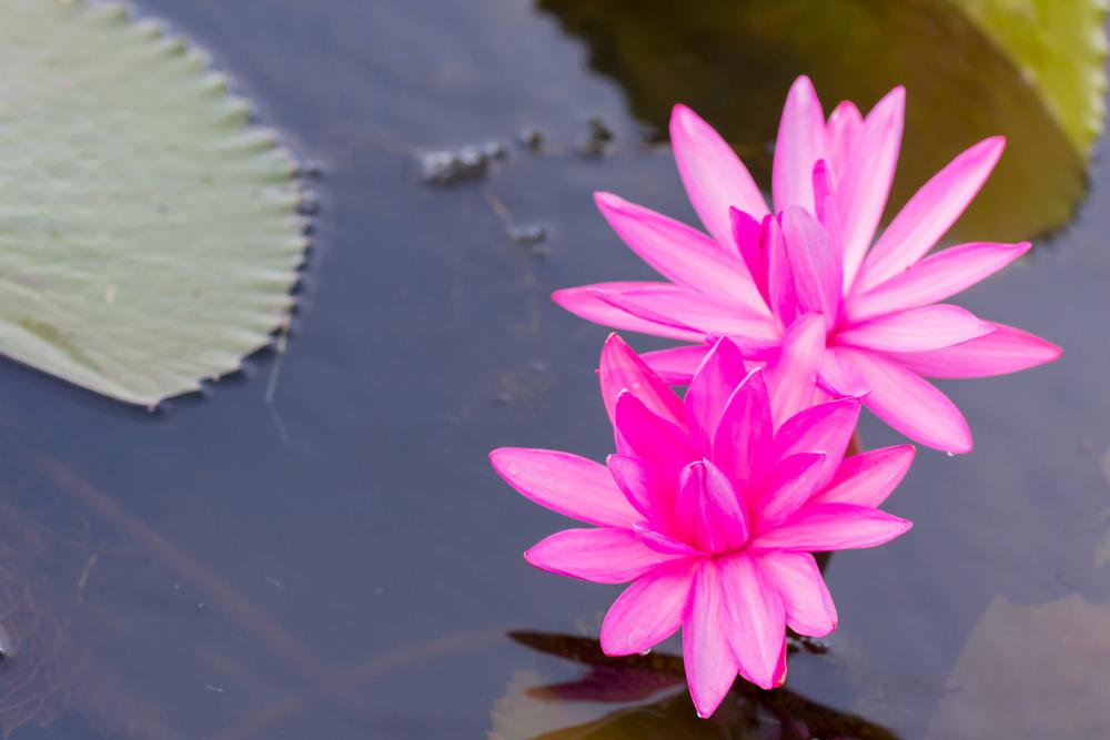 Lotus at Bueng Boraphet