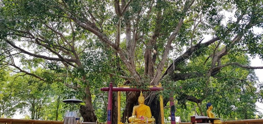 ต้นโพธิ์ศรีมหาโพธิ (Wat Sri Maha Pho)