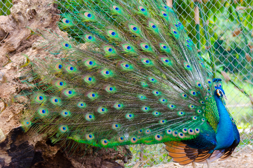 Chainat – The Soaring Bird of Thailand