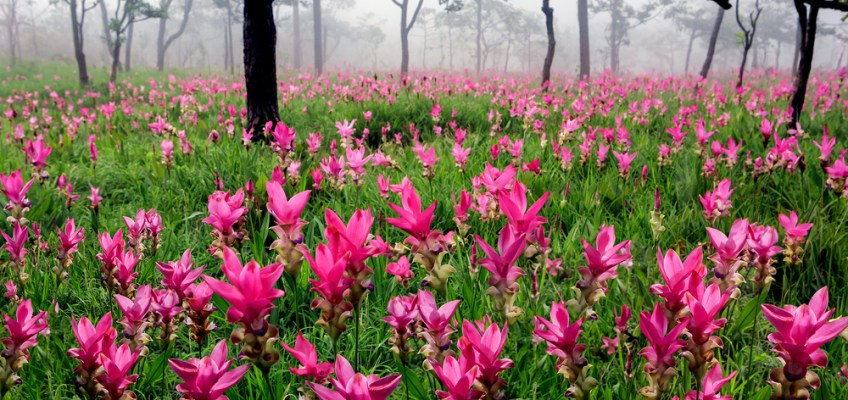 Pa Hin Ngam National Park - Siam Tulip (อุทยานแห่งชาติป่าหินงาม - ดอกกระเจียว)