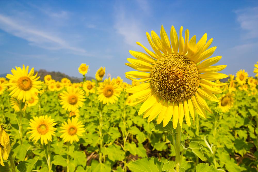 Sunflowers Festival at Saraburi, Thailand