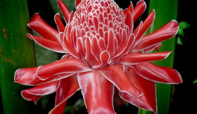 Цветы Таиланда - Этлингера