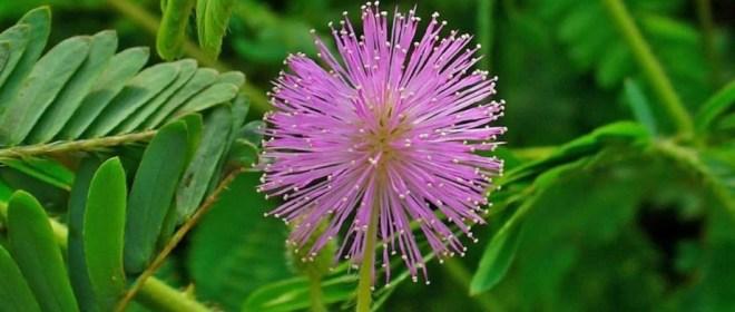 Цветы Таиланда - Мимоза