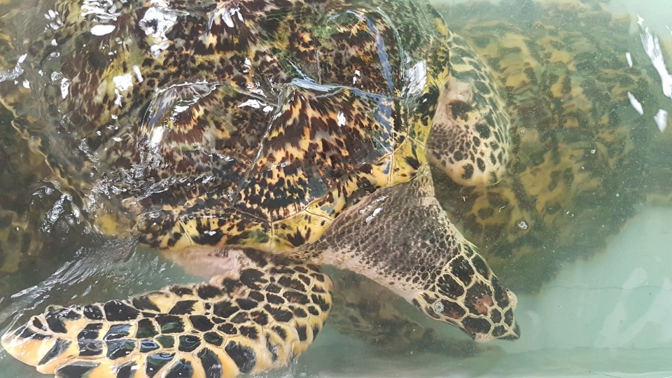 Sea turtles in Koh Talu