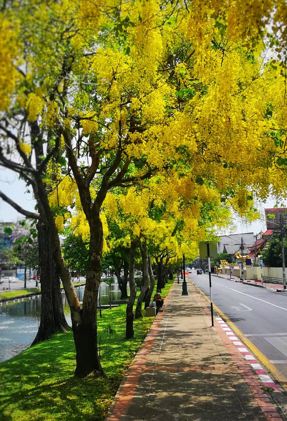 Golden Showers in bloom