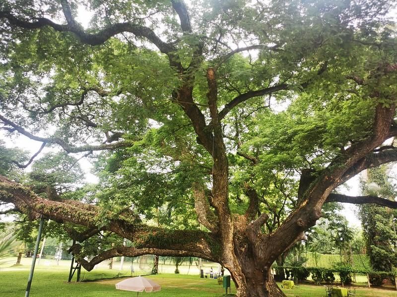 the over 150 year old rain tree at Gym Khana Club Chiang Mai