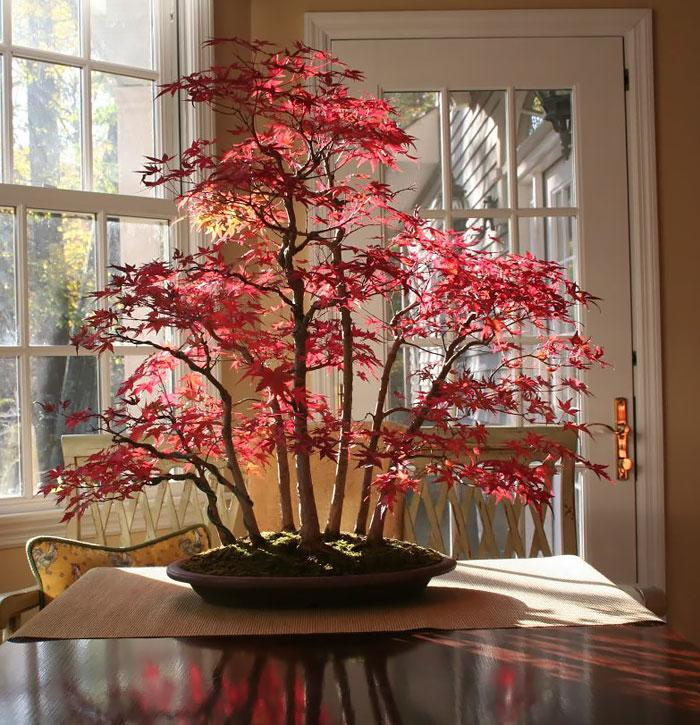 como cultivar bonsai bordo