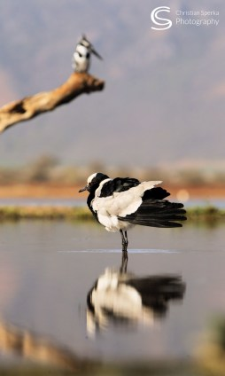Blacksmith Plover and Pied Kingfisher