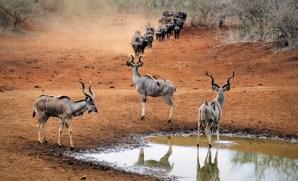 Kudu and Cape Buffalo