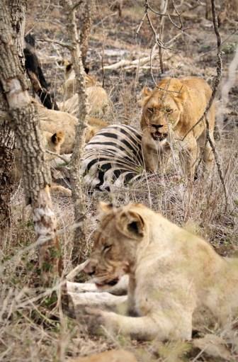 Lion on a Zebra kill