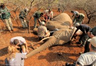 One of the Elephant cows is carefully measured during the procedure