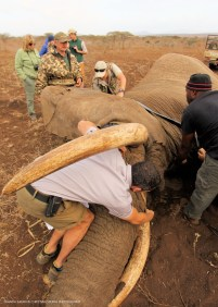 Fitting a collar - a tough job on a large creature