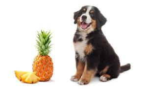 Can Dogs Eat Pineapple - Some Surprising Facts