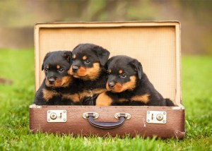 Rottweiler Puppies For Sale - How To Buy Online