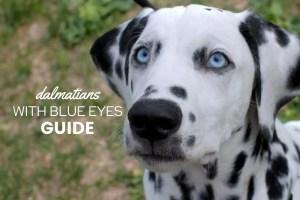 Dalmatians-With-Blue-Eyes