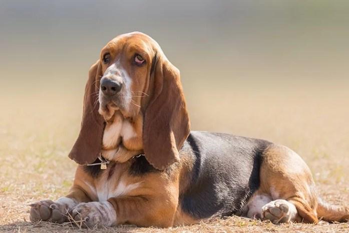 Basset hound dog portrait having a serious
