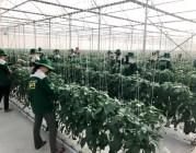 Doanh nghiệp, nông dân phối hợp phát triển chuỗi sản xuất, tiêu thụ nông sản: Hài hòa lợi ích để bền vững